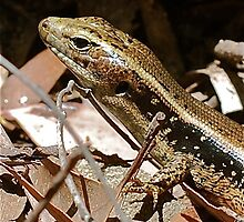Baby Skink by Penny Smith