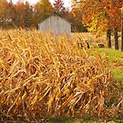 Autumn Corn by mcstory
