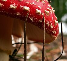 Everyone's favourite fungus by Alison Broome