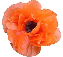 Orange Poppy Floral Flower Photographic Print