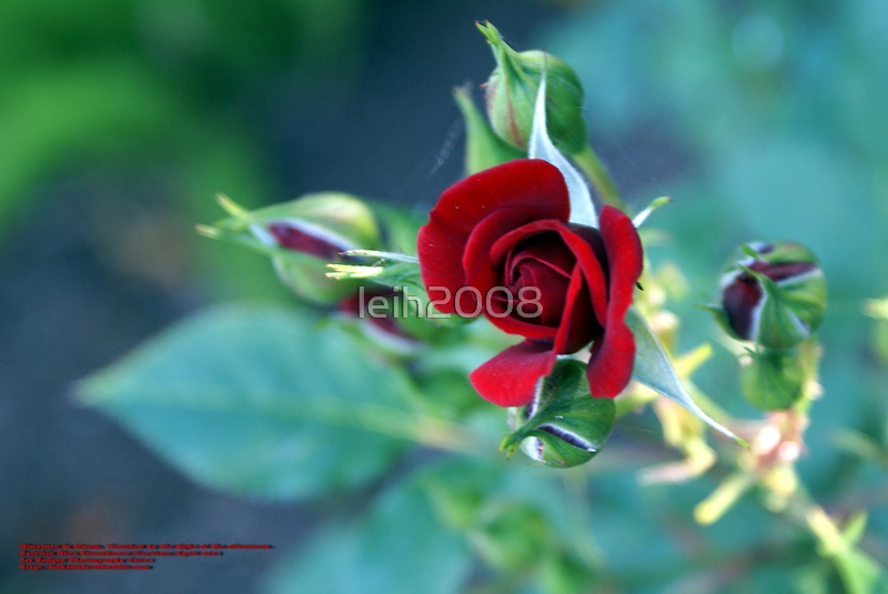 """Minature """"RED"""" in bloom; Patricia Merz Greenhouse/Gardens, Gr. Hills, CA USA by leih2008"""