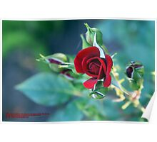 "Minature ""RED"" in bloom; Patricia Merz Greenhouse/Gardens, Gr. Hills, CA USA Poster"
