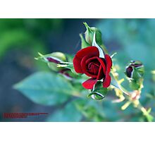 """Minature """"RED"""" in bloom; Patricia Merz Greenhouse/Gardens, Gr. Hills, CA USA Photographic Print"""