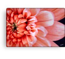 Chrysanthemum Macro Canvas Print