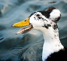 Laughing Duck by Caitlyn Grasso