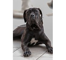 labrador retrive Photographic Print