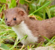 Weasel ~ Mustela nivalis Sticker