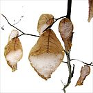 Young Beech Leaves in the Snow by LouiseK