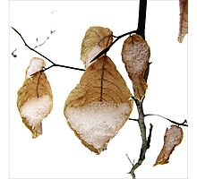 Young Beech Leaves in the Snow Photographic Print