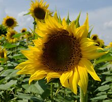 Sunflower by Janice Heppenstall