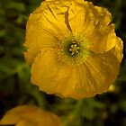 Yellow Poppy by Elaine Teague