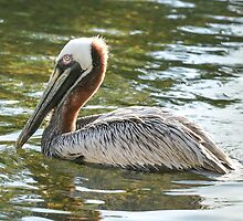 A pelican swimming in a pond by derejeb