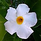 White Mandevilla by Scott Mitchell