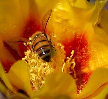 I will melt into it (Opuntia humifusa) by loiteke