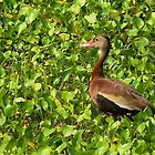 Black-bellied Whistling-Duck by Evelyn Laeschke