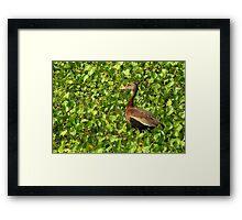 Black-bellied Whistling-Duck Framed Print