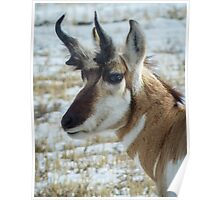 Trophy Pronghorn Buck Poster