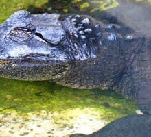 American Alligator Sticker