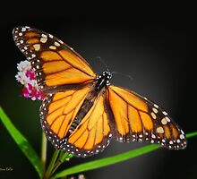 Open Wings Monarch by Christina Rollo
