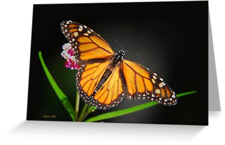 Open Wings Monarch Butterfly by Christina Rollo