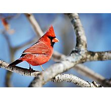 Northern Cardinal Scarlet Blaze Photographic Print