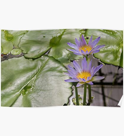 American Purple Water Lily  Poster