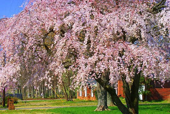 Hugh Weeping Cherry Tree by Ruth Lambert