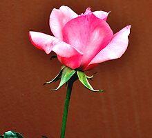 LONG STEM FRAGRANT PINK ROSE by JAYMILO