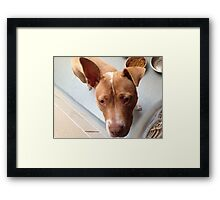 Pitbull Stella Framed Print