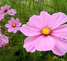 Cosmos by Kathleen Brant