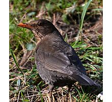 Female Blackbird Photographic Print