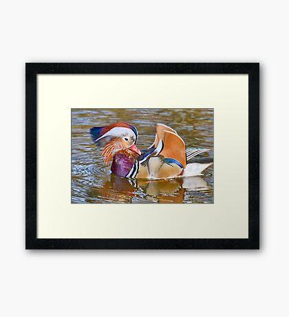 Mandarin Duck At Mangerton Mill, Dorset Framed Print