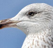Young Gull by lynn carter