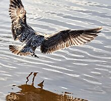 Young Gull In The Air by lynn carter