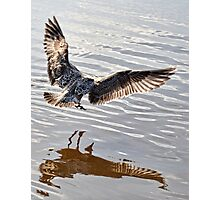 Young Gull In The Air Photographic Print