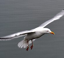 Gull In Flight by lynn carter