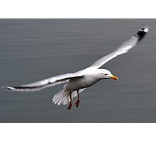 Gull In Flight Photographic Print