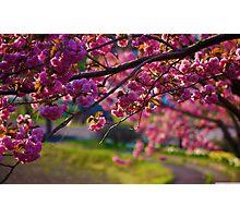Cherry blossom (sakura) Photographic Print