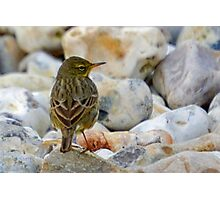 Rock Pipit On Monmouth Beach Photographic Print