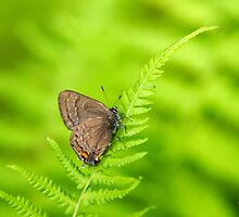 Banded Hairstreak Butterfly by Christina Rollo