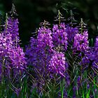 Purple Fireweed Jasper Canada by Bob Christopher