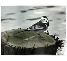 Wagtail Poster