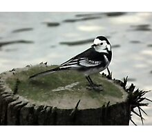 Wagtail Photographic Print