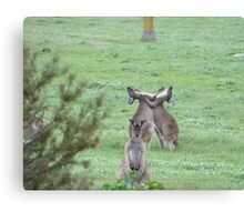 DON'T WATCH THEM! They're just being stupid! Western Grey Kangaroos, Mount Pleasant. Canvas Print