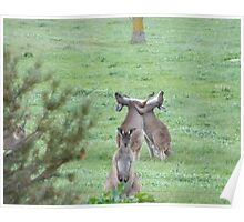 DON'T WATCH THEM! They're just being stupid! Western Grey Kangaroos, Mount Pleasant. Poster