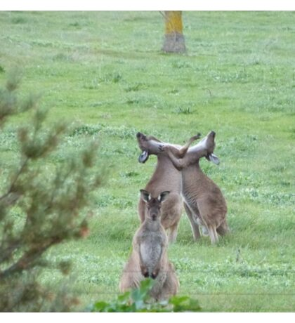 DON'T WATCH THEM! They're just being stupid! Western Grey Kangaroos, Mount Pleasant. Sticker
