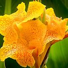 Orange Canna by DPalmer