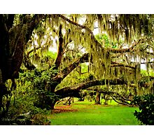 Plantation Oak Photographic Print