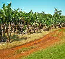 Innisfail Banana Plantation by V1mage