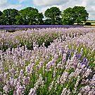 English Lavender Fields by Alex Cassels